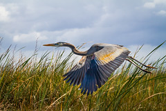 Arrowhead (Tazmanic) Tags: blueheron flying wingsdown longgrass weeds floridaeverglades everglades clouds landscape nature green blue