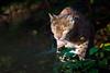 Luchs (100er) Tags: bayerischerwald luchs nationalpark natur raubkatze lynx
