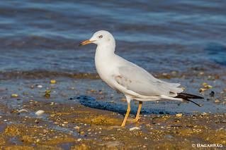 Gaivota-de-bico-fino | Slender-billed gull | Gaviota picofina | Goéland railleur (Larus genei)