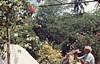 John Cameron, alsatian Zoe. Allamanda, Frangi, Boug, Zanzibar (Mary Gillham Archive Project) Tags: 1970 january1970 tanzania zanzibar 92530 allamanda bougainvilleas frangipangi johncameron mammal people planttree