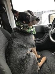 Kenny (iluveasycheese) Tags: furface kenny jeep dogs