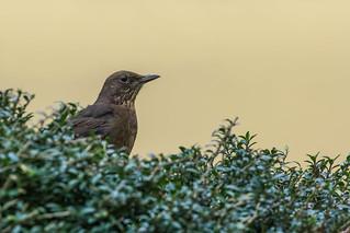 Blackbird  -  Amsel