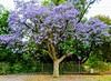 November Jacaranda (ozipital) Tags: jacaranda adelaide southaustralia tree flowering adelaidelightandstone