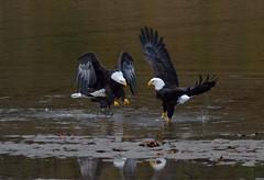 Play time (Van-HC) Tags: baldeagle eagles bald water river flight birdinflight bc canada