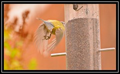 """Bum's Away...!!!"" (NikonShutterBug1) Tags: nikond7100 tamron70300mm birds ornithology wildlife nature spe smartphotoeditor birdfeedingstation bokeh birdsfeeding bluetit wingwednesday"