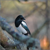KUS_9095a (Weinstöckle) Tags: elster vogel rabenvogel
