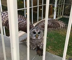 CSU # 161 (k_e_lewis) Tags: barred owl csu clevelandstate csulaw