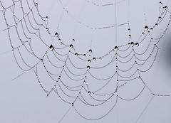 Hanging By a Thread (sea turtle) Tags: whidbey island whidbeyisland autumn washington washingtonstate spider web spiderweb fog haze water waterdrop waterdroplet waterdrops waterdroplets thread silk spidersilk