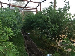 IMG_5506 (CannaPsy) Tags: medicalcannabis medicalmarijuana cannabis organic sungrown truelivingorganics notill weed ganja herb dank caliweed cleanmeds ecofriendly legalization warondrugs prohibition