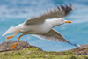 Yellow-legged Gull (Larus michahellis)-9989-Edit (Stein Arne Jensen) Tags: canonef100400f4556lisusm canoneos70d europa europe steinarnejensen европа أوروبا यूरोप ヨーロッパ 歐洲 유럽 laspalmas grancanaria spain