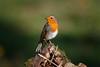 060.jpg (Kico Lopez) Tags: miño lugo aves galicia birds spain petirrojo erithacusrubecula rio