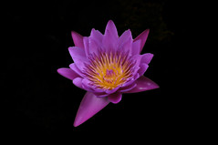 _DSC0005 Water Lily (tsuping.liu) Tags: outdoor organicpatttern blackbackground bright blooming aquaticplant atmospher abigfave aquatic amazing closeup depthoffield darkbackground depth ecology ecotour exquisitesunsets flower feeling flowers garden image imagination itsallaboutflowers its lighting skylight lakeside moment macro mood memory nature natureselegantshots naturesfinest natures perspective photoborder plant pattern photographt passion petal painting photoboder photos aquaplant texture purity touching water webbtide waterlily zoomin zooming