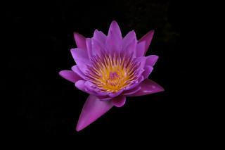 _DSC0005 Water Lily