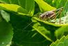 04 - of course, both sides_Pholidoptera griseoaptera (gerhard.wolff2016) Tags: gemeinestrauchschrecke langfühlerschrecken laubheuschrecken pholidopteragriseoaptera tettigonioidea darkbushcricket female weiblich weibchen schleswigholstein deutschland de sunbathing sunbath sonye1670mmf4zaoss sonysel1670z sonyilce6300 sonya6300