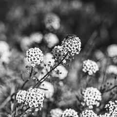 Opposites (daveanderson14) Tags: flowers fly alyssum bokeh bw blackandwhite blackwhite d610