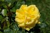 Maig_1468 (Joanbrebo) Tags: barcelona catalunya españa es park parque parc parccervantes garden jardí jardín rosa rose flors flores flowers fleur fiori blumen blossom canoneos70d eosd efs18135mmf3556is autofocus