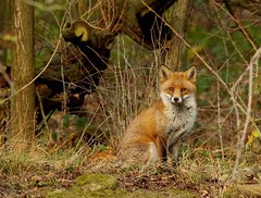 Fox in a field sheffield 3 dec 2017 (2) (Simon Dell Photography) Tags: urban red fox simon dell photography sheffield shirebrook s12 valley hackenthorpe old new pictures autumn winter colors animal nature wildlife uk england english countryside vulpes stunning detail sitting hill pose