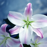 Lily in blue thumbnail