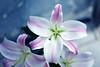Lily in blue (Pensive glance) Tags: lily lilum lys fleurdelys flower fleur plant plante