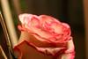 Temps de flors_0139 (Joanbrebo) Tags: girona catalunya españa es tempsdeflors tempsdeflors2017 canoneos80d eosd efs1018mmf4556isstm autofocus flors flores flowers fleur fiori blumen blossom rosa rose