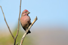 Cassin's Finch (7363) (Bob Walker (NM)) Tags: bird finch cassinsfinch haemorhouscassinii cassinsfinch cafi perching losalamos newmexico usa