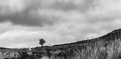 _DSC0693-2517 (SteveKenilworth2014) Tags: worlds end llangollen road polarizer bw bird countryside clouds heaver braken mountain mountains sheep woodland woods tree trees panorama long exposure stitch nikon d5300 18105mm lightroom photoshop photography farmland fall flower flowers farm autumn