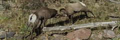 BAAAAAMMMM! (GalaxyFan (Bighorn Photography)) Tags: oviscanadensiscolorado bighornsheep bighornsheeprut bighorn bighornram ram colorado coloradowildlife coloradophotography coloradowildlifephotography littleton littletoncolorado watertoncanyon watertoncanyontrail watertoncanyonwildlife canon7d canon100400mmf4556isl canoncamera canonlenses canonusa canongallery canonextreme awesomeshot anawesomeshot wildanimal battlingrams