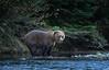 Lovely Little Lady (rishaisomphotography) Tags: kodiak alaska sow brownbear grizzly female subadult nature naturephototgrapher wildlife wildlifephotography outdoors adventure