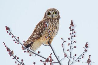 Short-eared Owl in a maple