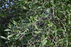 Olea europaea (esta_ahi) Tags: pedreradelarboçar olivo olivera olea europaea oleaeuropaea oleaceae árbol árboles cultivados flora olives olivas aceiturnas olèrdola penedès barcelona spain españa испания
