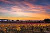 (--marcello--) Tags: assisi umbria italy sunset sky tramonto vineyard vigneto vine colors autumn nature landscape paesaggio panorama santamariadegliangeli