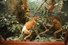 Chicago, IL - Grant Park - Field Museum - Proboscis Monkeys (jrozwado) Tags: northamerica usa illinois chicago museum fieldmuseum naturalhistory grantpark monkey taxidermy diorama