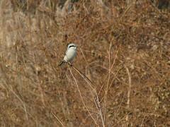 Northern Shrike (magarell) Tags: bird northernshrike beanery capemay capemaycounty nj