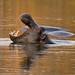 Hippo in golden light