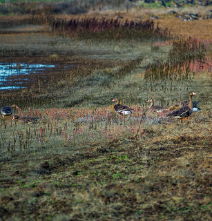Greater White-fronted Geese at Cosumnes River Preserve