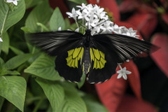 Birdwing Butterfly in Motion (C. P. Ewing) Tags: butterfly butterflies animal animals insect insects nature natural beautiful new all photo photos red green black white colors colorful colourful colours flight motion outdoor outdoors flower flowers leaves leaf flying macro foliage everything closeup best