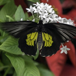 Birdwing Butterfly in Motion thumbnail