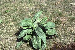 Weeds18.tif (NRCS Montana) Tags: weeds noxious houndstongue