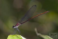 Mnesarete sp. ( BlezSP) Tags: faunaforever peru neotropicaldragonflies odonata zygoptera rainforest stream
