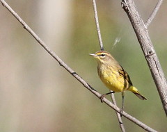 Palm Warbler at Oros Preserve (Tombo Pixels) Tags: palmwarbler oros170148 orospreserve bird nj woodbridge middlesexcounty newjersey twb1