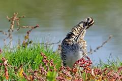 DSC_0310_DxO_pnDSC_0245_DxO_pn - Bécassine des marais Gallinago gallinago - Common Snipe (Berzou) Tags: bécassine gallinagogallinago commonsnipe oiseau bird nature naturebynikon fantasticnature leteich nikond7200 tamron150600