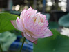 Sacred Lotus 'Fen Ling Long 13' Wahgarden Thailand 007 (Klong15 Waterlily) Tags: lotus thailandlotus flower lotusflower pond pondplant landscape nelumbonucifera
