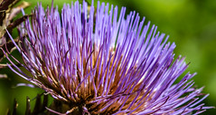 Feu d'artifice (fireworks) (Larch) Tags: fleur violet purple flower feudartifice firework artichaut artichoke jardin garden jardindescîmes passy hautesavoie