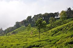 India - Kerala - Munnar - Tea Plantagen - 208 (asienman) Tags: india kerala munnar teaplantagen asienmanphotography