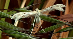 A PLUME MOTH that thinks it's a BIRD (Lani Elliott) Tags: nature naturephotography lanielliott moth insect wings plumemoth macro upclose close closeup grass feathers background bokeh tasmanianfauna excellent wow gorgeous