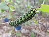 Saturnia pavonia - caterpillar (Nicholas_Hunter) Tags: caterpillar saturnia pavonia small emperor moth saturniinae saturniidae lepidoptera insecta animalia samsung gtn7100