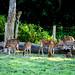 Deer at Baghamara Bufferzone Community Forest