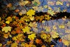 Floating (peeteninge) Tags: leaves autumn floating nature bladeren drijven herfst natuur fujifilm fujifilmxt2