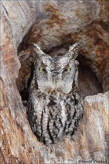 Grumpy Eastern Screech-Owl