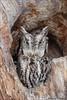 Grumpy Eastern Screech-Owl (Daniel Cadieux) Tags: owl screechowl easternscreechowl grumpy eyes treecavity treehole ottawa stare unhappy